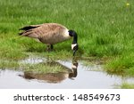 Wild Goose Drinking Water From...