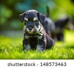 Miniature Schnauzer Puppy In A...
