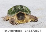 Common Snapping Turtle With...