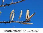 Small photo of The upright seed pods of the Acacia hebeclada subspecies hebeclada.
