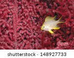 Small photo of Golden damselfish hiding in a red soft coral (Amblypomacentrus aureus)