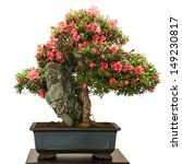 Isolated Rhododendron Indicum...