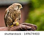 common kestrel  falco... | Shutterstock . vector #149674403