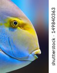 Small photo of Yellowfin surgeon fish close-up ( Acanthurus xanthopterus)