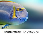 Small photo of Pencilled surgeon fish close-up ( Acanthurus dussumieri )