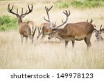 red deer stags in summer field... | Shutterstock . vector #149978123