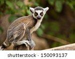 ring tailed lemur  lemur catta  | Shutterstock . vector #150093137
