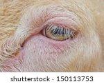 Close Up Sheep Eye