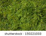 cedar  green background   Shutterstock . vector #150221033