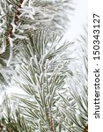 Pine Needles Covered With...
