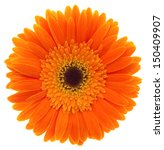 Gerbera. Deep Focus. No Dust....