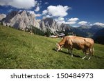 Cow Grazing In Mountain Pastures