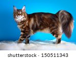 Maine Coon Cat On A Colored...