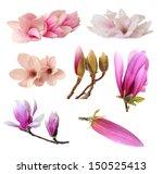 Three Magnolia Flowers Isolate...