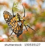Garden Spider With Monarch...