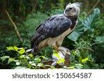 Harpy Eagle Ready To Eat White...