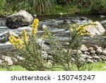 gorse flowering plant by a...