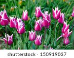 beautiful background from tulips | Shutterstock . vector #150919037
