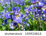 Multicolored Siberian Iris Of...