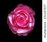 Beautiful Pink Ranunculus...