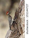 Small photo of Ladder-backed woodpecker, Picoides scalaris, Arizona, USA, winter