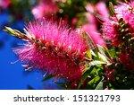 Pink Bottlebrush  Like...