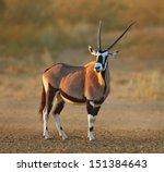 Gemsbok In The Desert   Oryx...