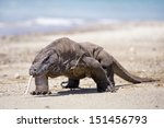 Komodo Dragon In Komodo Island...