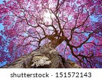 Pink Lapacho Tree At Sun S...