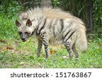 striped hyenas have a broad... | Shutterstock . vector #151763867