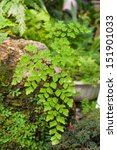 Small photo of Adiantum capillus-veneris, Southern maidenhair fern, black maidenhair fern, venus hair fern, is a Adiantum fern.