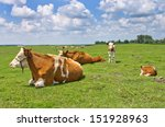 Cows Resting On Grass Field