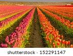 Skagit Valley Tulips Abloom In...