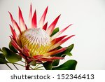South African Protea Flower...
