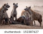 spotted hyenas on buffalo kill | Shutterstock . vector #152387627