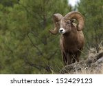 wild bighorn mountain sheep...