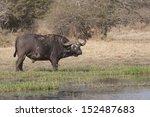 buffalo in the wild | Shutterstock . vector #152487683
