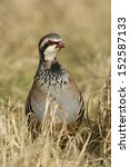 Small photo of Red-legged partridge, Alectoris rufa, Midlands, winter