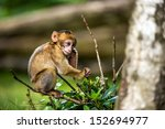 Baby Barbary Macaque Cleaning...