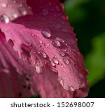 Raindrops Are On A Pink Flower