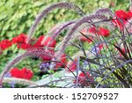 Purple Fountain Grass With Red...
