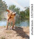 A Labrador Retriever Shaking...