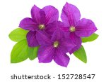 Purple Clematis With Green...