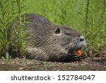 A Nutria Is Enjoying Some...