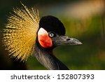 black crowned crane  balearica... | Shutterstock . vector #152807393
