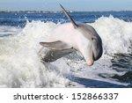 Atlantic Bottlenose Dolphin ...