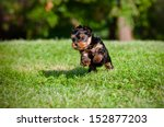 Stock photo yorkshire terrier puppy 152877203