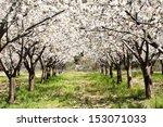 Cherry Blossoms  Caderechas...