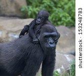 little gorilla baby is riding...   Shutterstock . vector #153248783