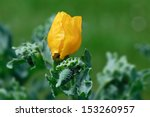Yellow Horned Poppy  Glaucium...
